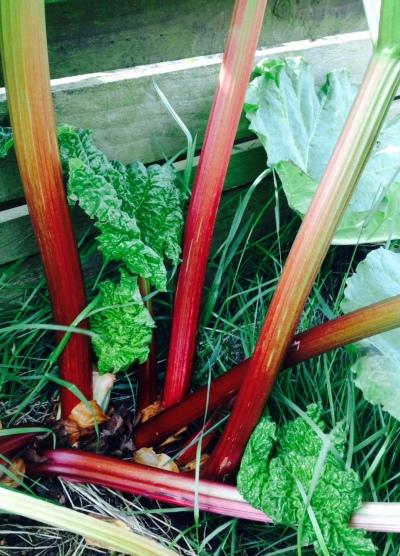 My rhubarb plant.