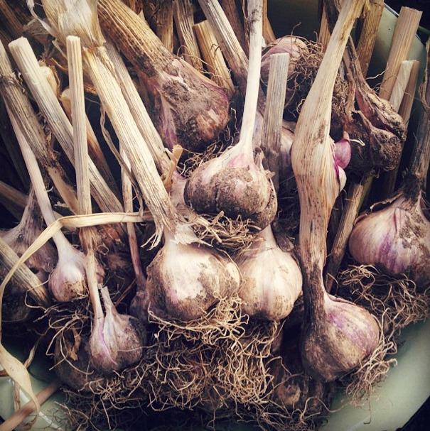 m_garlic1