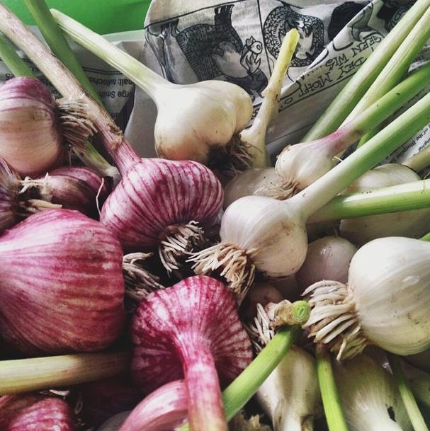 m_garlic2